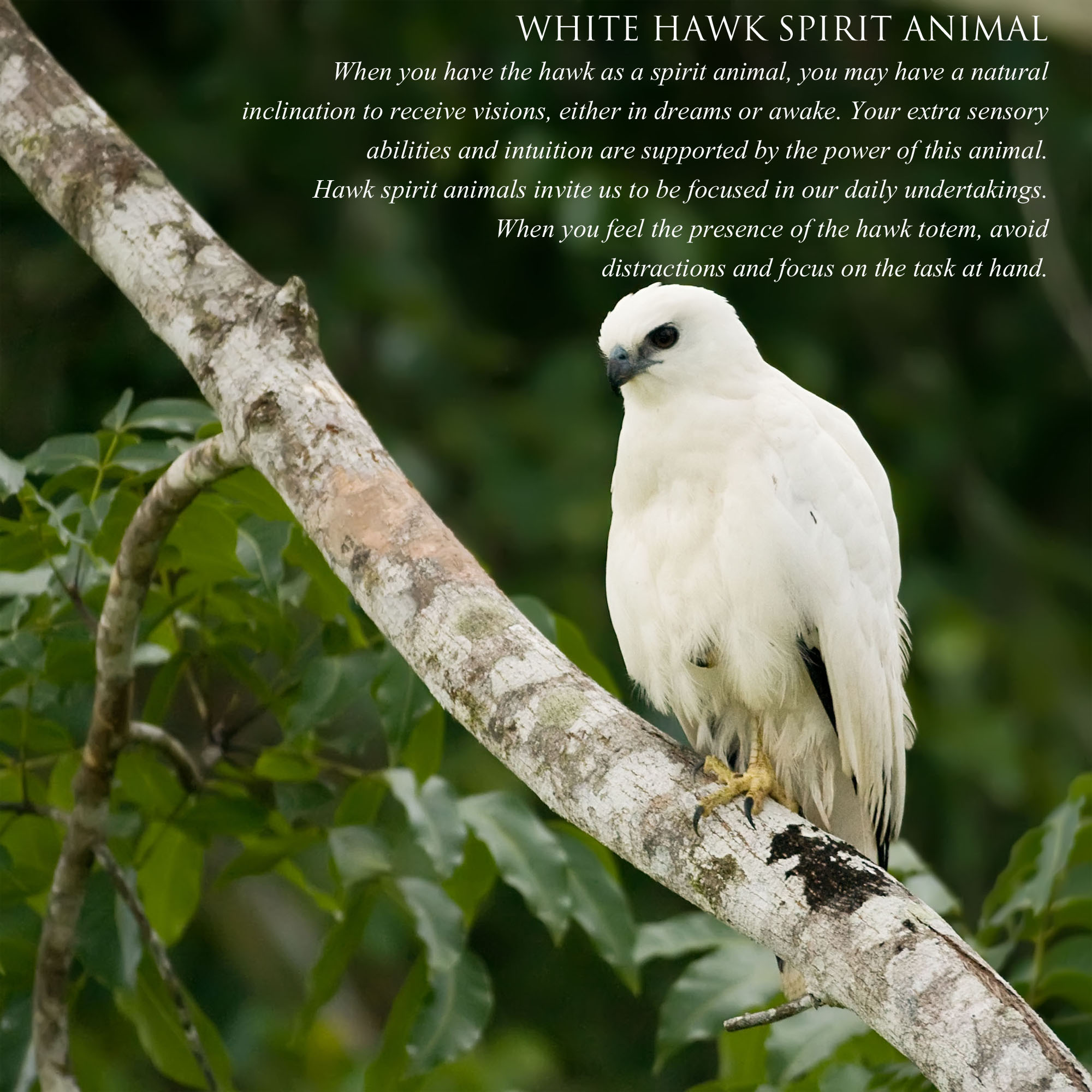White Hawk Message Renee Christine Martine